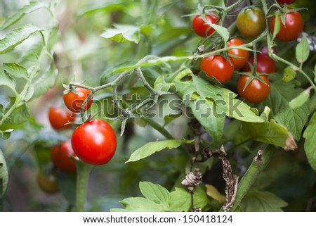 Fresh tomatoes in garden - bio food - stock photo