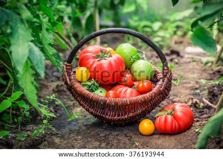 Fresh tomatoes in wicker basket - stock photo
