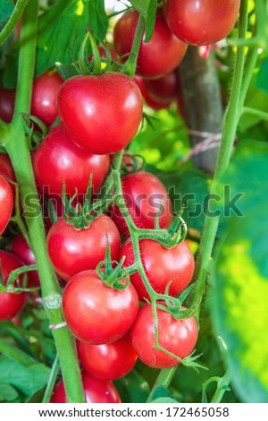 Fresh Tomatoes on a stem. - stock photo