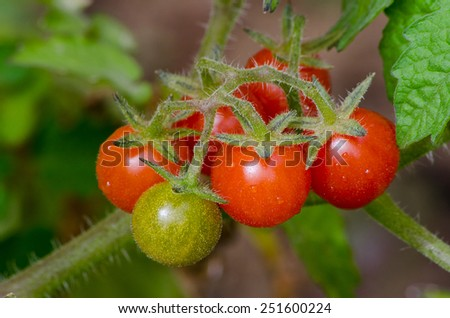 Fresh tomatoes still on the plant.