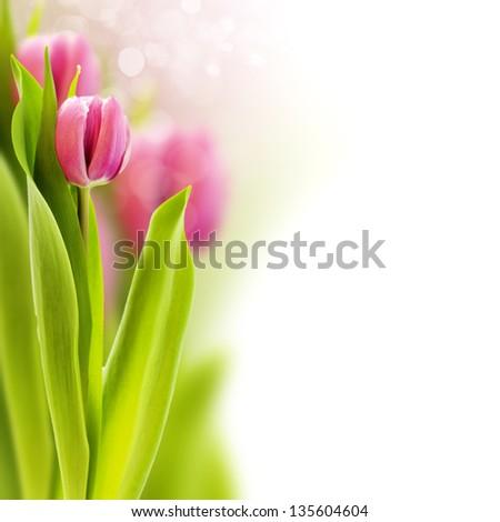 fresh tulip on white background - stock photo