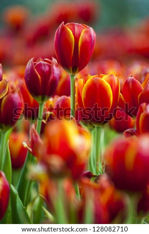 fresh tulips in garden with water spray - stock photo