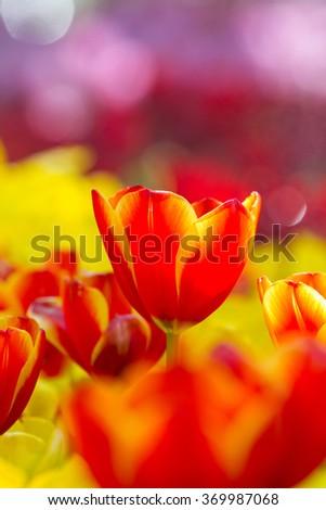 Fresh tulips in warm sun light - stock photo