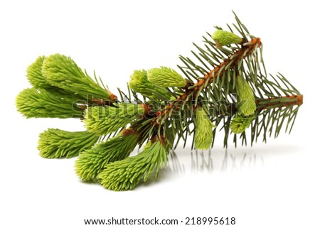 Fresh twig of fir isolated on white background - stock photo