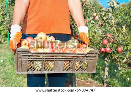 Fresh vegetable in wooden basket  Apple picking in the fall - beautiful girl with basket full of red apples. - stock photo