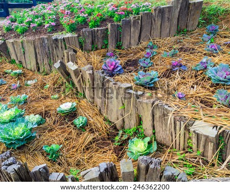 Fresh violet Cabbage (brassica oleracea) plant leaves garden - stock photo