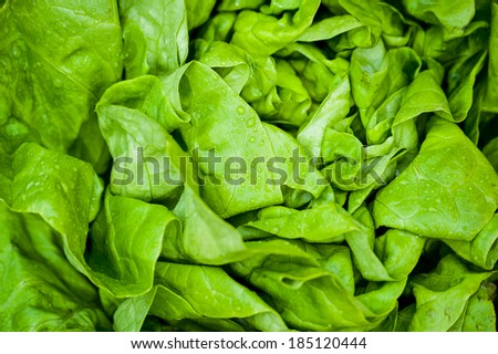 Fresh vivid green crispy wet healthy spring lettuce leaves close up - stock photo