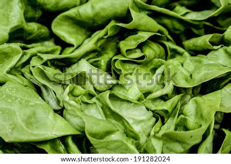 Fresh vivid green crispy wet healthy spring lettuce leaves close up image - stock photo