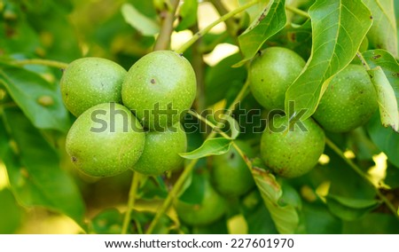 Fresh walnuts hanging on a tree - stock photo