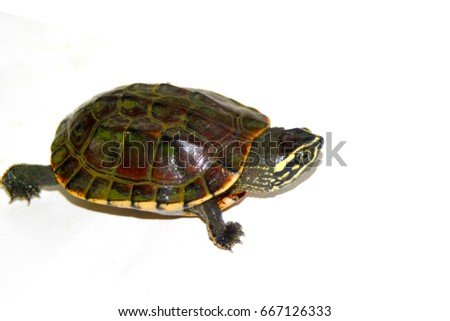 Fresh water turtle on white background