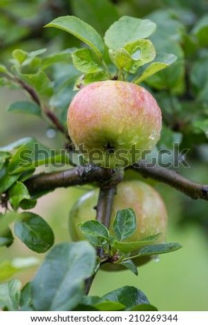 fresh wet apples on a appletree