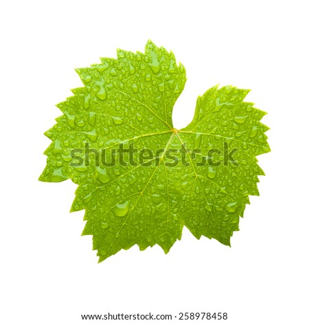 fresh wet wine leaf isolated on white background - stock photo