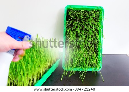 Fresh wheat grass in a container  - stock photo
