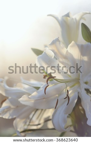Fresh white lily bouquet in soft sunlight - stock photo