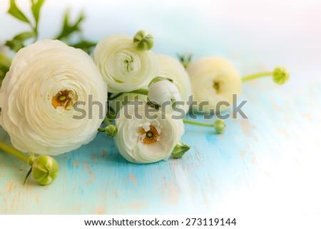 Fresh white ranunculus on blue wooden background - stock photo