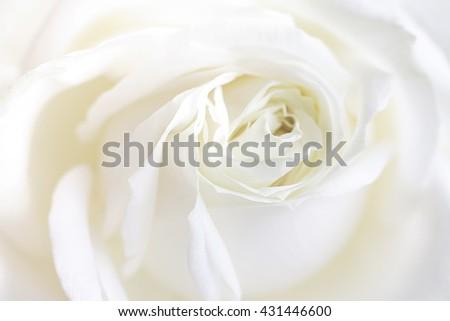 Fresh white rose photographed close up - stock photo