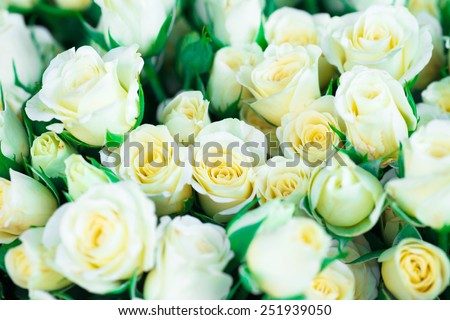 Fresh white roses with green leaves- nature spring sunny background. Soft focus and bokeh - stock photo