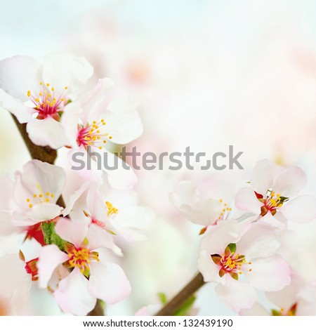 Fresh, white, soft spring tree blossoms on bokeh background. Very shallow DOF. - stock photo