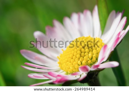 Fresh wildflowers spring or summer design. Floral nature daisy macro background in green  - stock photo