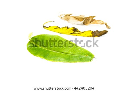 fresh, withered and dried banana leaf on white background - stock photo