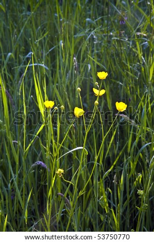 fresh yellow buttercup plant on the field in harmony with dew - stock photo