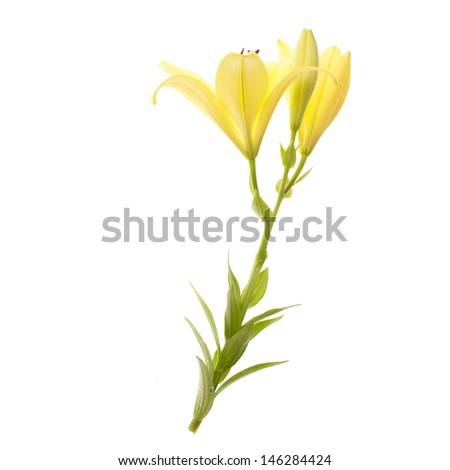fresh yellow lily isolated on white background - stock photo