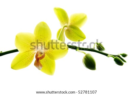 Fresh yellow orchids isolated on white background
