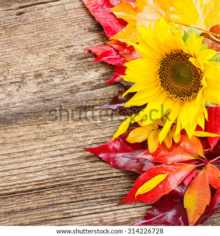 fresh  yellow sunflower and fall leaves on wooden background - stock photo
