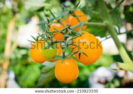 Fresh yellow tomato on vegetable garden - stock photo