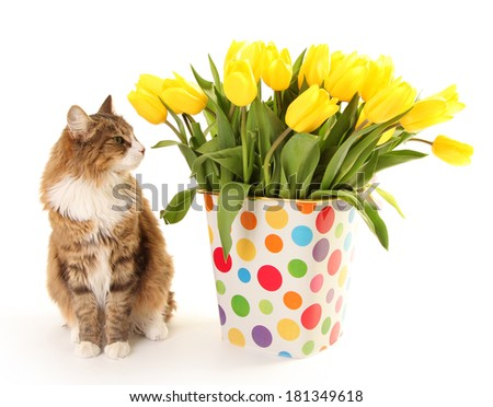 fresh yellow tulips and cat on white - stock photo