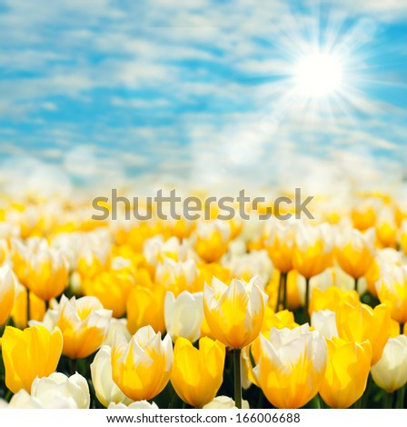 fresh yellow tulips in spring with blue sky and sunshine - stock photo