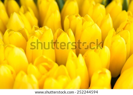 Fresh yellow tulips- nature spring background. Soft focus and bokeh - stock photo