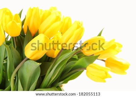 fresh yellow tulips on white background