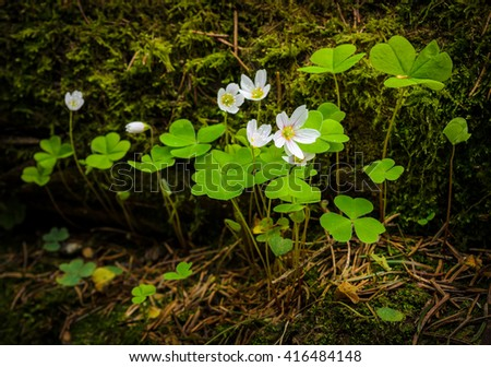 fresh young blossoming oxalis (shamrock)
