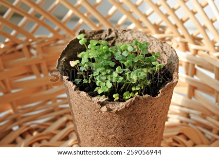 Fresh young seedlings in pot and straw basket - stock photo