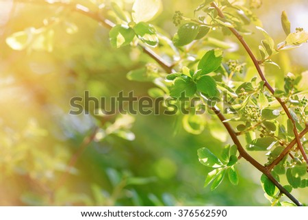 Fresh, young spring leaves bathed in spring sunshine - stock photo
