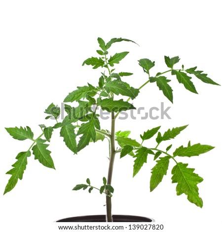 Fresh young tomato plant isolated on white background - stock photo