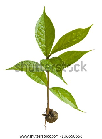 Fresh young tree on white background. - stock photo