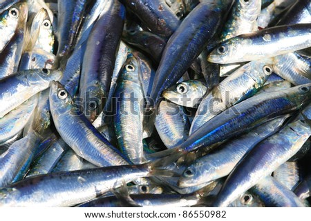 Freshly catch sardines, anchovies, reflecting in the sun - stock photo