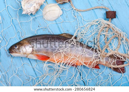 freshly caught fish - brook trout fish with Shells and net on blue wooden background - stock photo