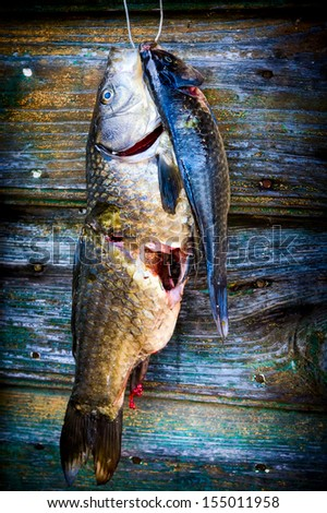 Freshly caught fish hanged on barn door waiting to be cooked. - stock photo