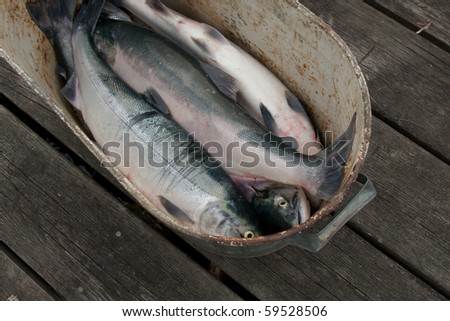 Freshly caught Pacific sockeye salmon in a pail on the dock