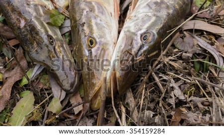 Freshly caught pike. Catch fisherman. Fisherman caught pike.Pike in grass.