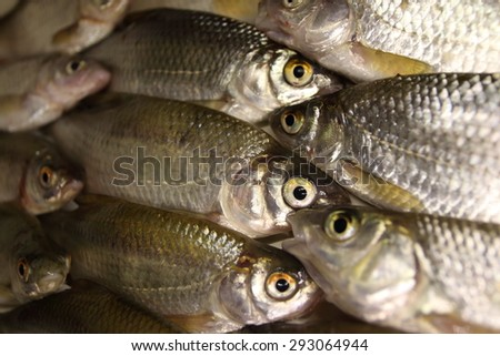 Freshly caught river fishes of various killifish species - stock photo