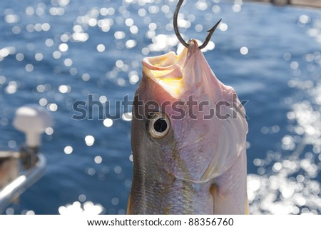 Freshly caught Yellowtail Snapper (Ocyurus chrysurus) hangs from a fishing hook on a boat in the Caribbean. - stock photo