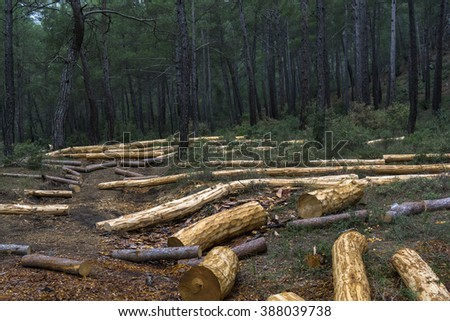 Freshly cut logs in the forest on winter day