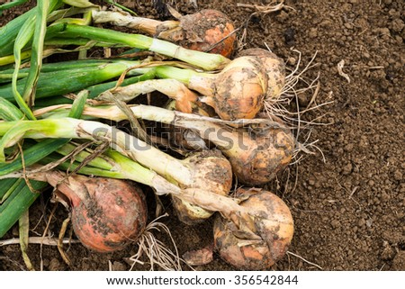 Freshly dug onion bulbs on the ground - stock photo