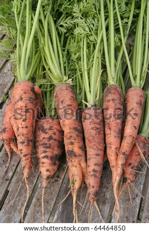 Freshly dug out carrots - stock photo