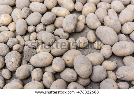 Freshly dug potatoes.