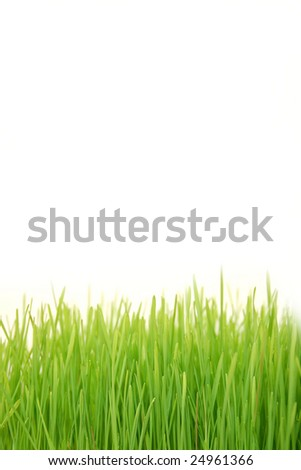 Freshly grown wheatgrass with shallow focus on the closest blades of grass.